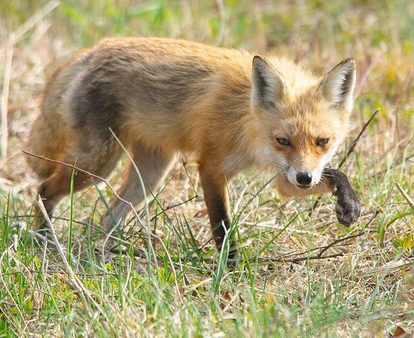 Fox 88