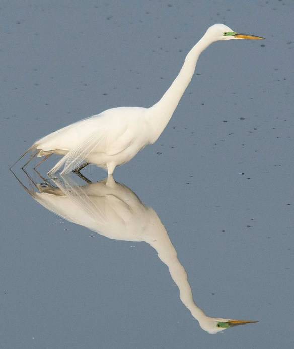 Great Egret 2018-1