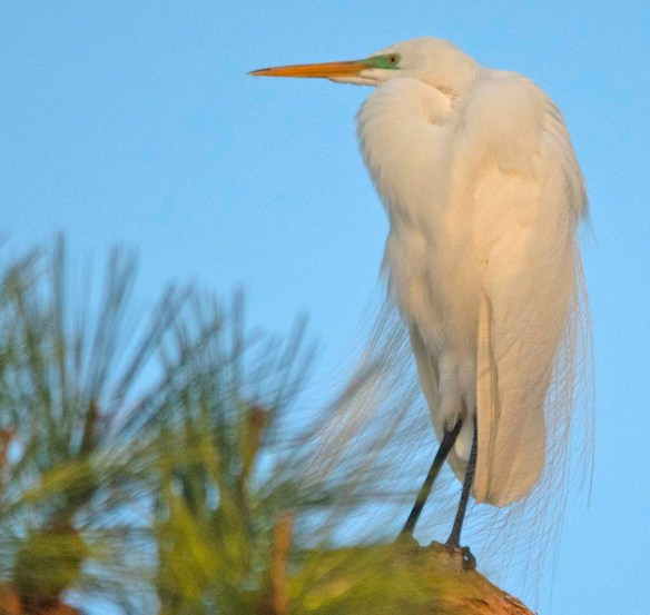 Great Egret 2018-7