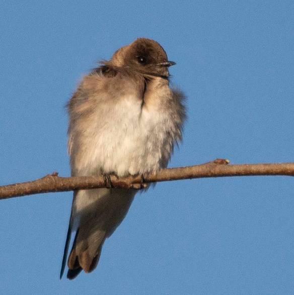 Northern Rough Winged Swallow 2018-1