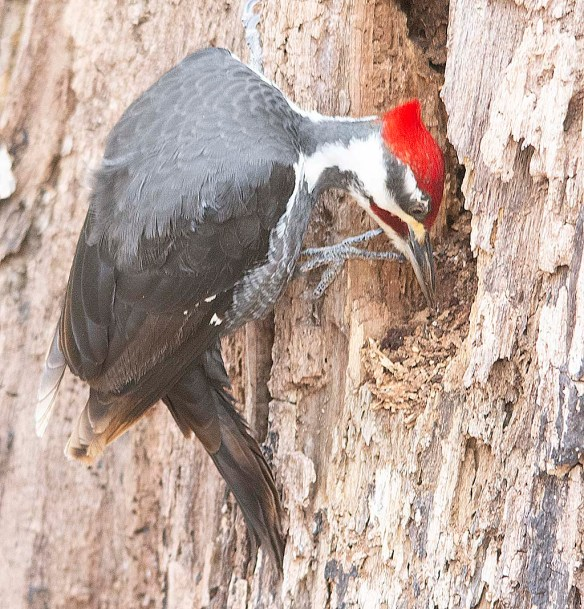 Pileated Woodpecker 2018-7