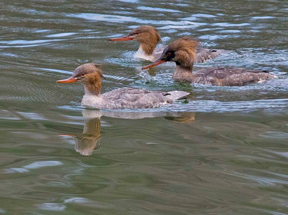 Red Breasted Merganser 2018-30
