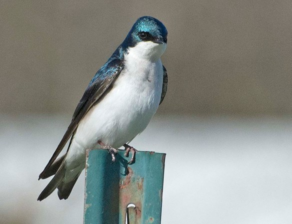Tree Swallow 2018-1