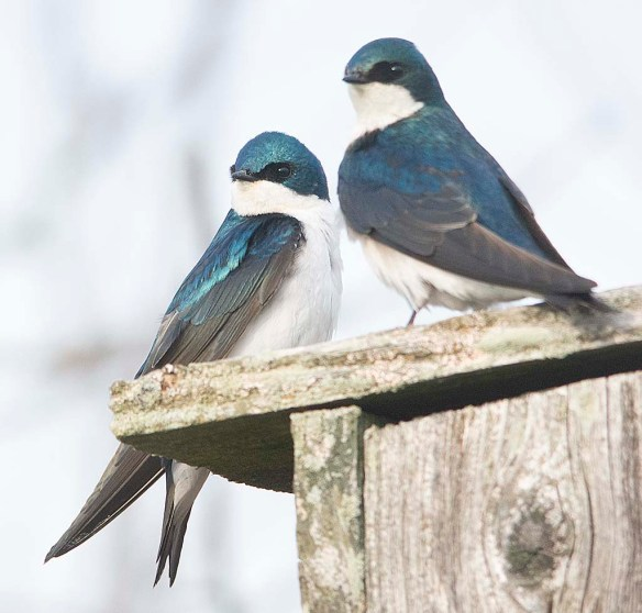 Tree Swallow 2018-11