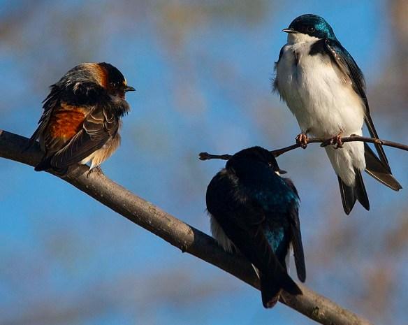 Tree Swallow 2018-12