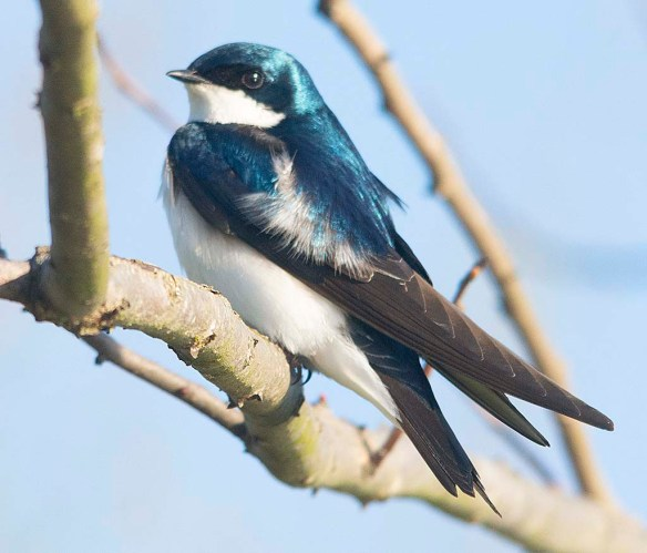 Tree Swallow 2018-13