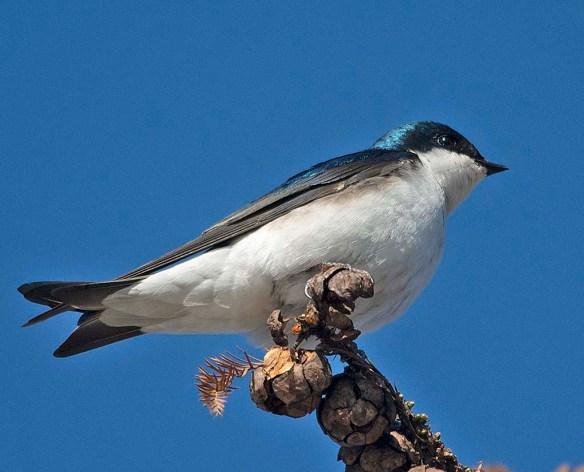 Tree Swallow 2018-7