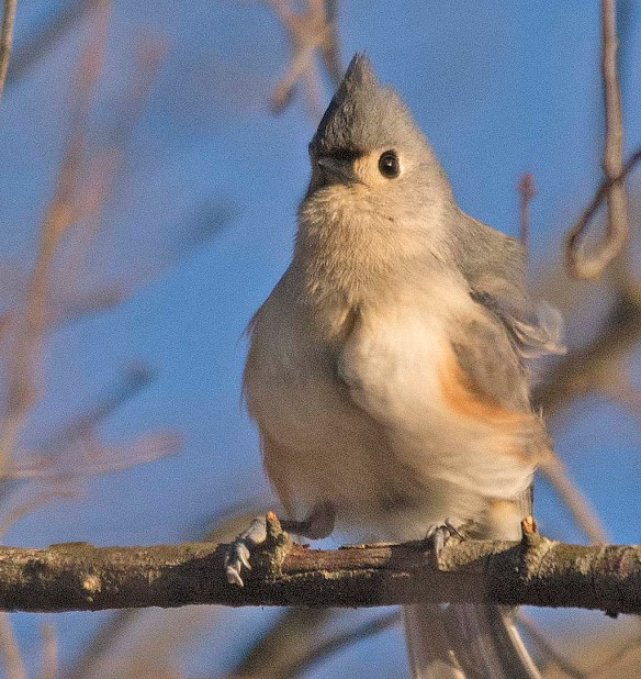 Tufted Titmouse 2018-1