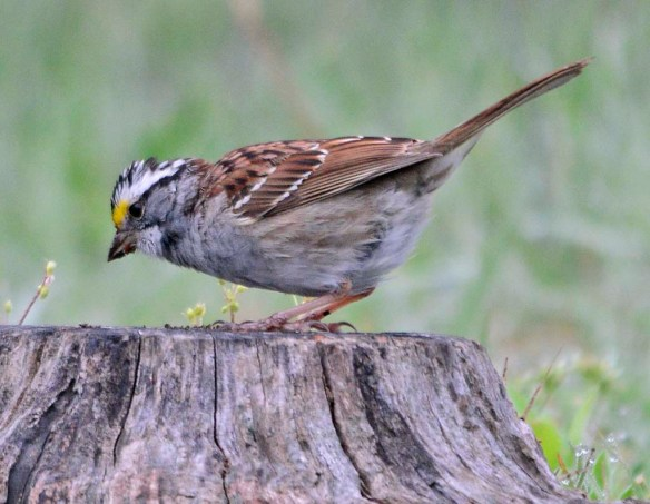 White Throated Sparrow 2018-2