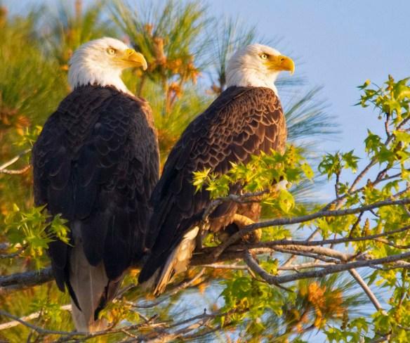 Bald Eagle 2018-31