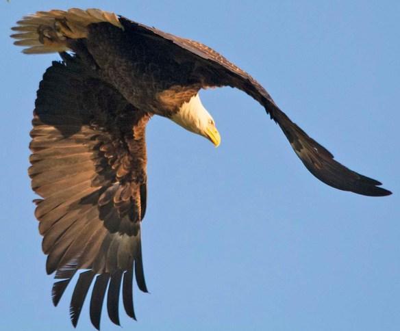 Bald Eagle 2018-33