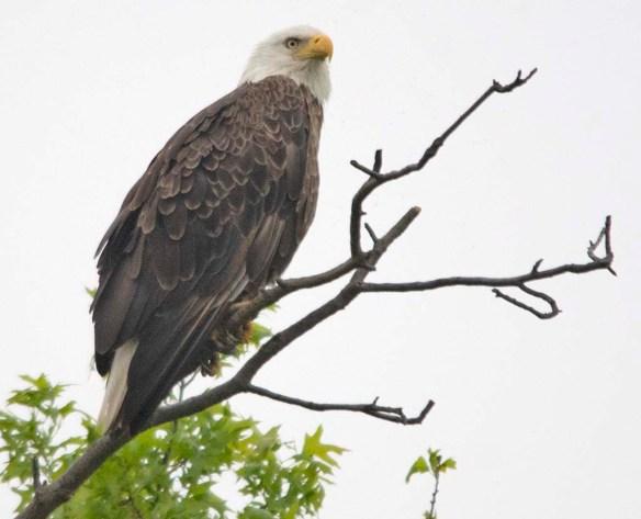 Bald Eagle 2018-35