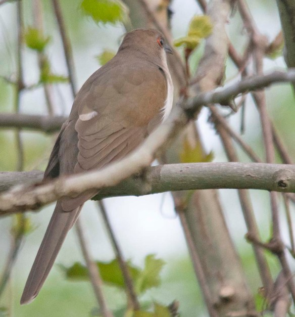 Black Billed Cuckoo 2018-1