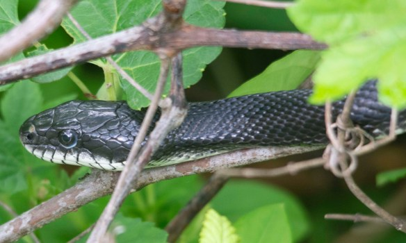 Black Rat Snake 5