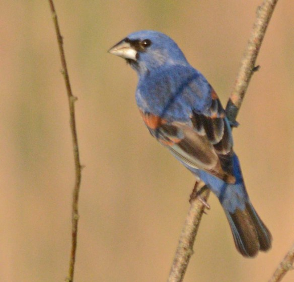 Blue Grosbeak 2018-1