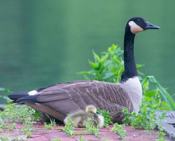 Canada Goose 2018-23