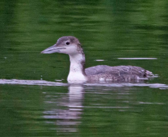 Common Loon 2018-5