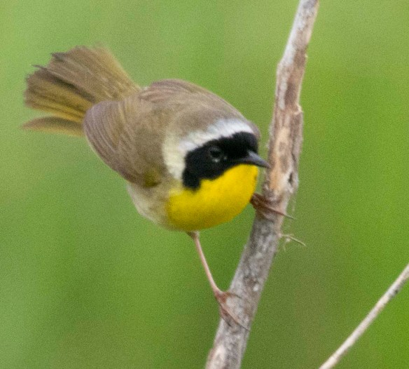 Common Yellowthroat 2018-3