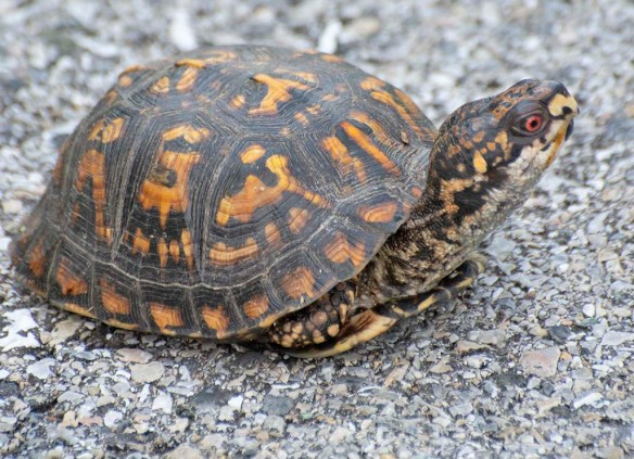Eastern Box Turtle 5