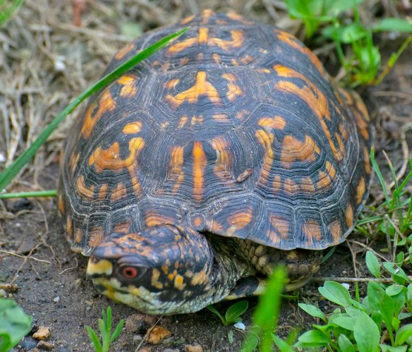 Eastern Box Turtle 6