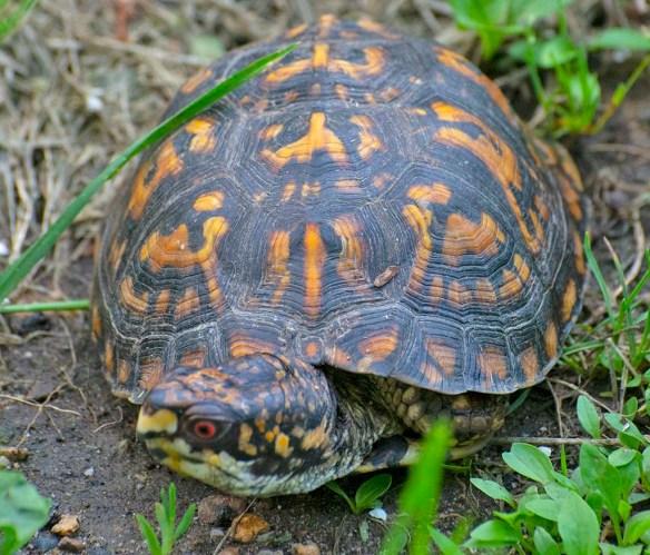 Eastern Box Turtle 6