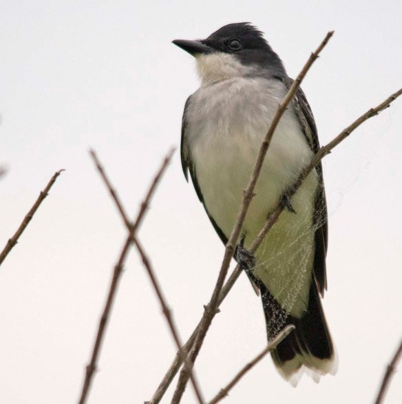 Eastern Kingbird 2018-1