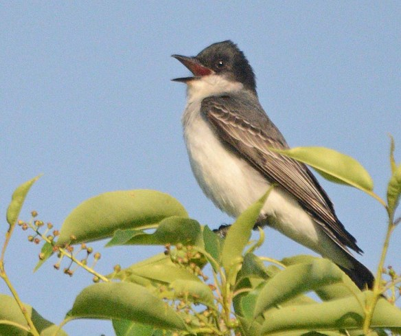 Eastern Kingbird 2018-5