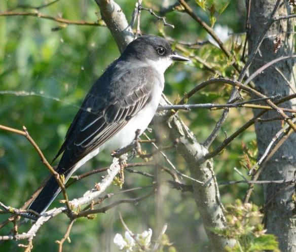 Eastern Kingbird 2018-7