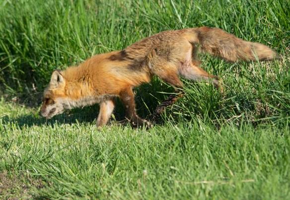 Fox 97