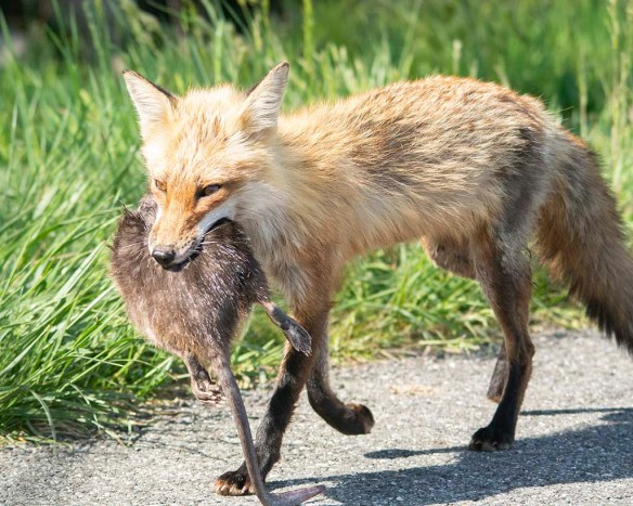 Fox 98