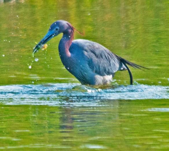 Little Blue Heron 2018-3