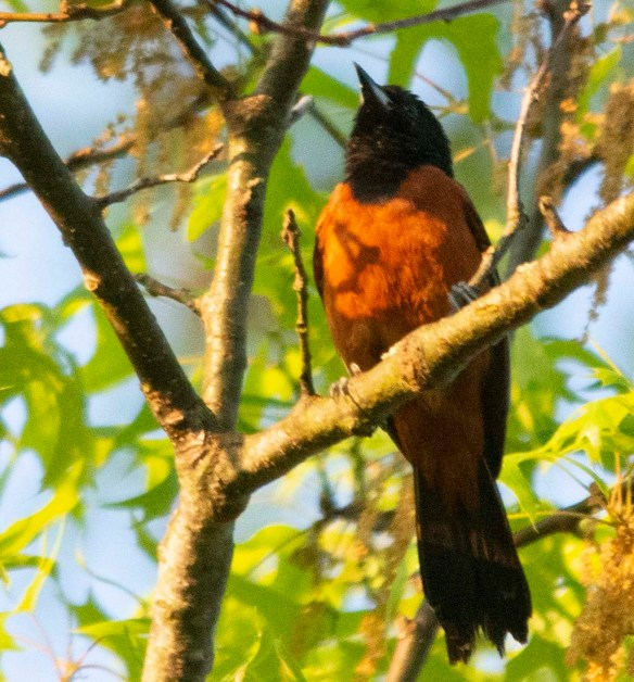 Orchard Oriole 2018-4
