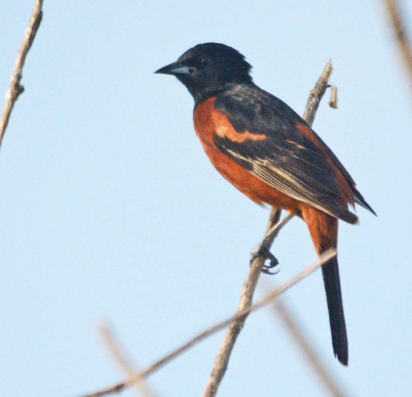 Orchard Oriole 2018-6