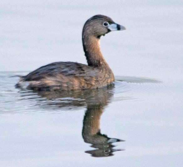 Pied Billed Grebe 2018-5
