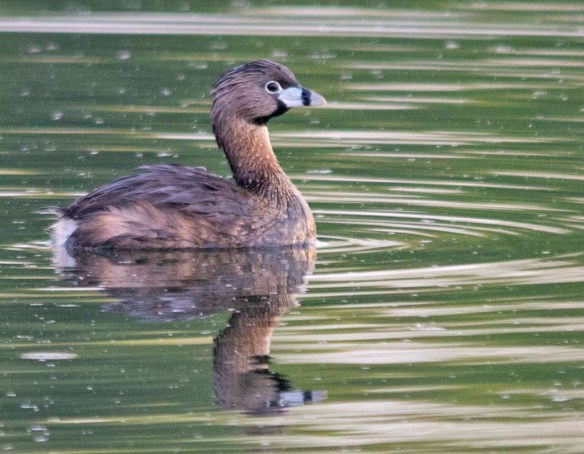 Pied Billed Grebe 2018-6