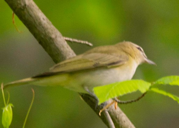 Red Eyed Vireo 2018-1
