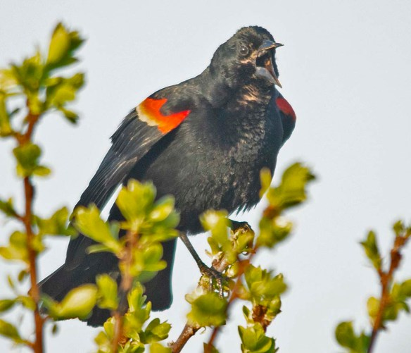 Red Winged Blackbird 2018-10