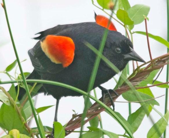 Red Winged Blackbird 2018-12