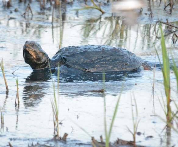 Snapping Turtle 30