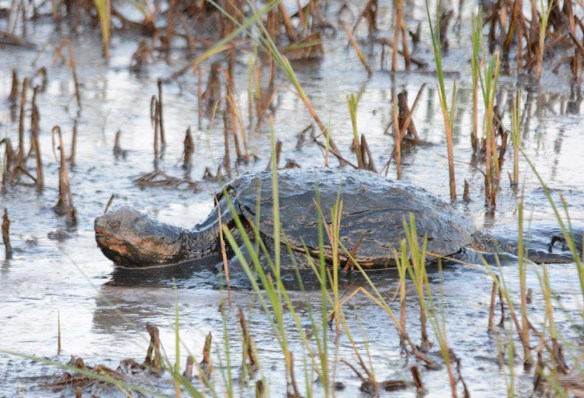 Snapping Turtle 31