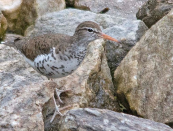 Spotted Sandpiper 2018-6