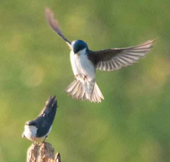 Tree Swallow 2018-20