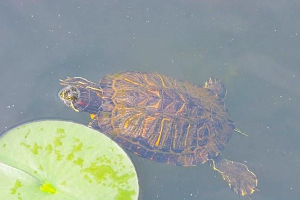 Turtle 78