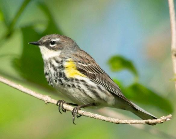 Yellow Rumped Warbler 2018-4