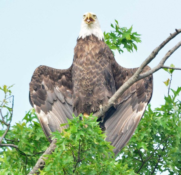 Bald Eagle 2018-41