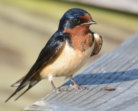 Barn Swallow 2018-10