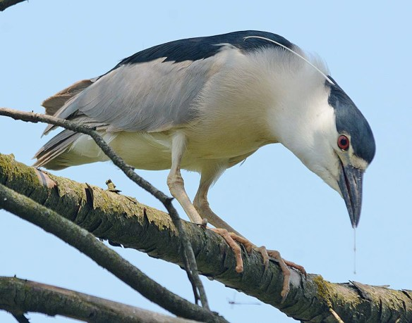Black Crowned Night Heron 2018-9