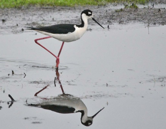 Black Necked Stilt 2018-8