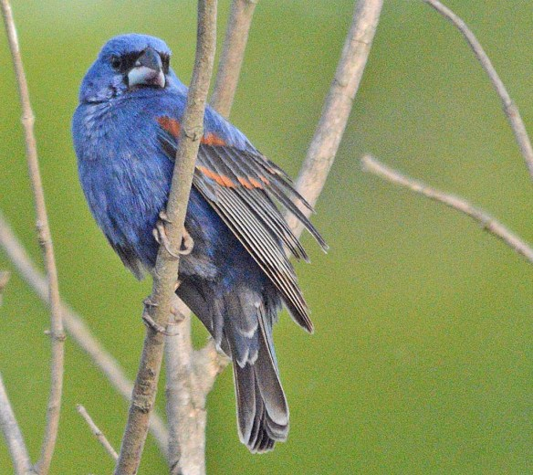 Blue Grosbeak 2018-3