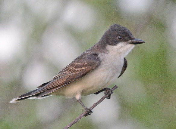 Eastern Kingbird 2018-13